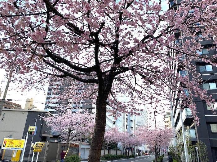 名古屋市東区 早咲き桜 20200305
